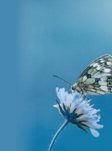 Schmetterling auf weisser Blume