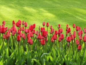 Garten mit roten Tulpen